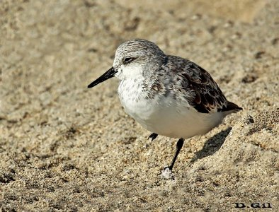 PLAYERITO BLANCO (Calidris alba) - Playa en Miami - USA (Abril 2014)